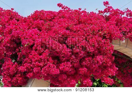 blooming bougainvilleas