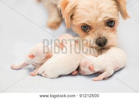 Newborn puppies shih tzu dog with adult mother