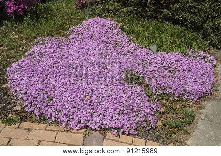 Purple Phlox Bed
