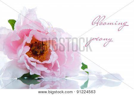 Beautiful Blooming Peony
