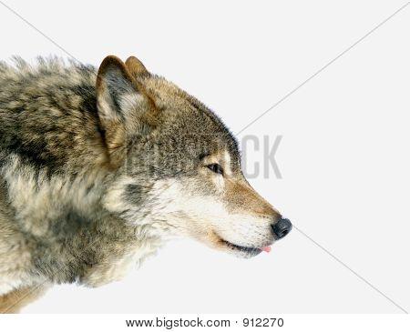 Head Of Wolf Running In Snow