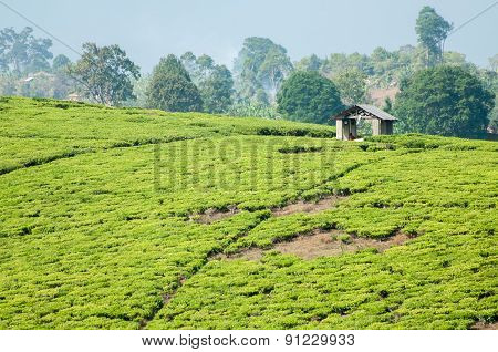 Tea Plantation And Hut