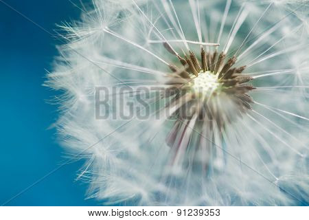 blossom of dandelion blowball with blue sky bavkground