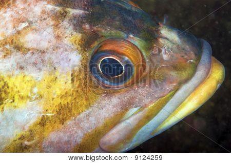 Copper Rock Fish