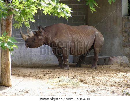 Rhino, Rhinoceros  At Berlin Zoo