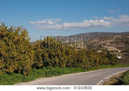The road through the orange garden with ripe fruits. Cyprus