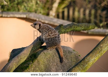 Meercat On A Rock