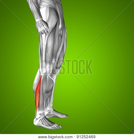 Concept or conceptual 3D peroneus or fibularis longus human lower leg anatomy or anatomical and muscle on green gradient background