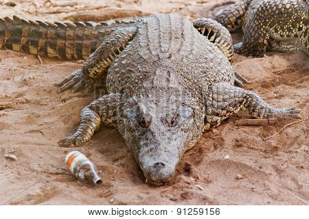 Cuban Crocodile (crocodylus Rhombifer) Lies On Sand With Empty Bottle Near It.