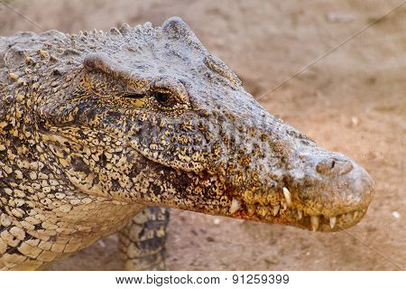 The Cuban Crocodile (crocodylus Rhombifer). It Has The Smallest Range Of Any Crocodile.