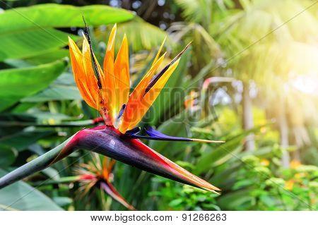 Strelitzia Reginae Closeup (bird Of Paradise Flower). Madeira Island