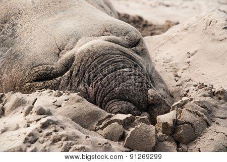 Sleeping Male Elephant Seal On A Beach