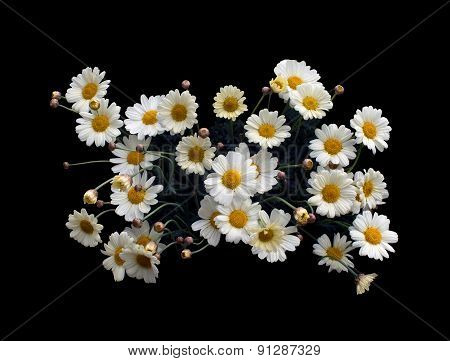Yellow Oxe-eye daisy or Moon Daisy May flowers Leucanthemum vulgare blossoming in May. poster