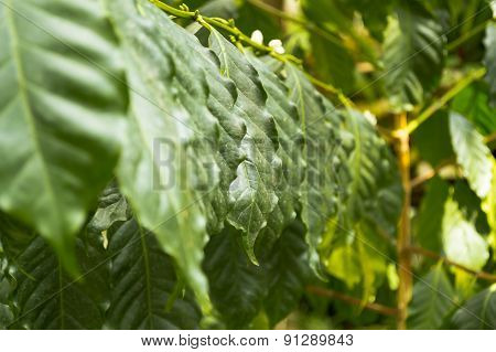 Leafs (coffee arabica)