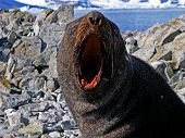 Angry fur seal opened his jaws, The Antarctic Peninsula, The Galindez Island poster