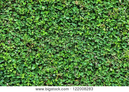 texture background of natural fukien tea leaf