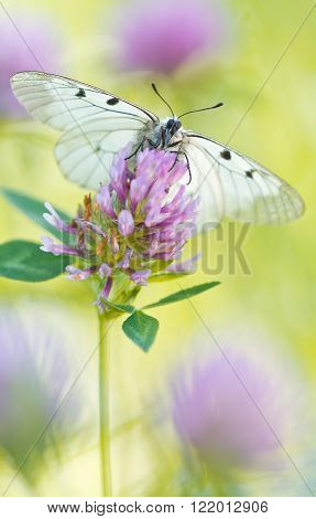 The Clouded Apollo (Parnassius mnemosyne) on a flowers