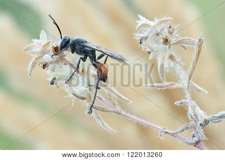 Wasp Palmodes occitanicus in nature close up