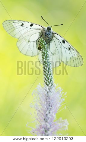 The Clouded Apollo (Parnassius mnemosyne) on grass