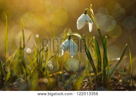 Galanthus nivalis f. flore pleno flowers spring white snowdrop flower with abstract bokeh background