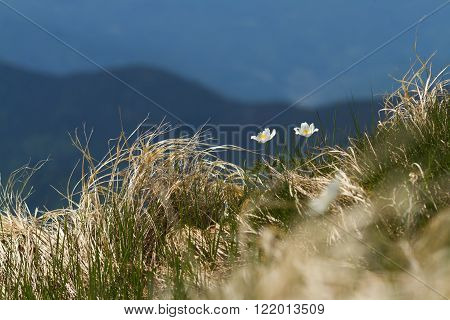 White Pulsatilla flowers in summer mountains growin from old grass