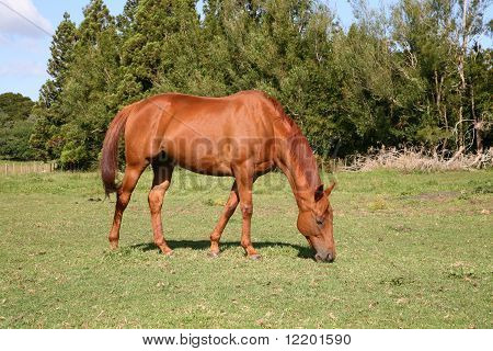 Horse grazing in the paddock