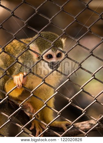 Sad squirrel monkeys in steel cage at zoo.