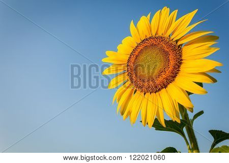 Sunflower in plantation facing to morning light.