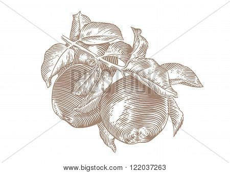 Drawing of apple branch with apples and leaves on the white