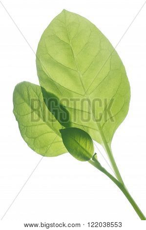 Backlit Viriginia Tobacco Leaves