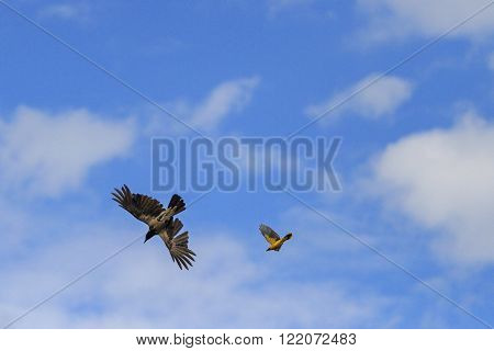 Eurasian Golden Oriole Drives Crow
