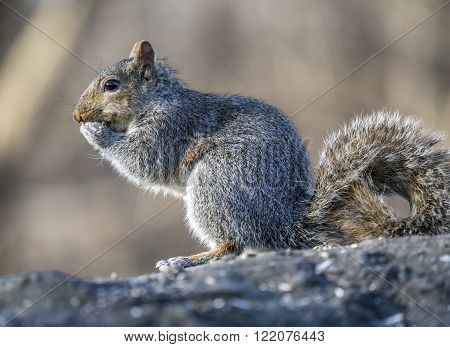 Sciurus carolinensis common name eastern gray squirrel or grey squirrel depending on region is a tree squirrel in the genus Sciurus