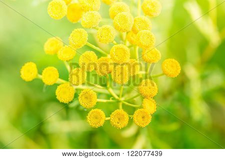 Tansy Tanacetum vulgare also known as Common Tansy Bitter Buttons Cow Bitter Mugwort or Golden Buttons