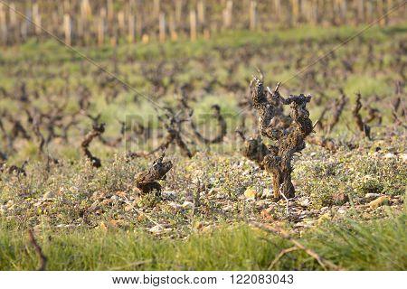 Vineyards of Beaujolais during springtime at dawn