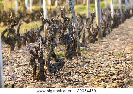 Vineyards Of Beaujolais During Springtime