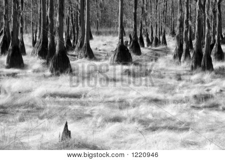 black & white photo of cyprus trees in