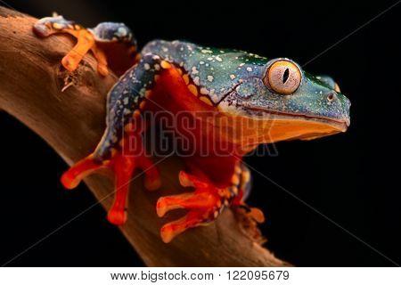tropical tree frog, Cruziohyla craspedopus. A rain forest amphibian from the amazon rainforest. Exotic animal and fringe treefrog. poster