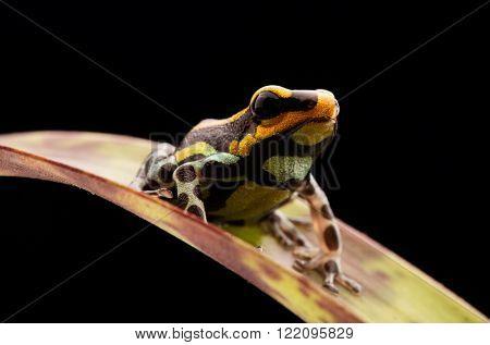 poison dart frog Peru rain forest, Ranitomeya lamasi panguana. A beautiful poisonous rainforest animal from the tropical Amazon jungle.