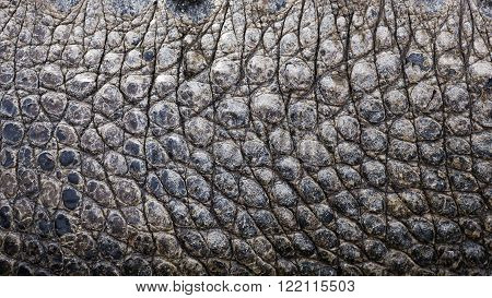 close up background texture of alligator skin