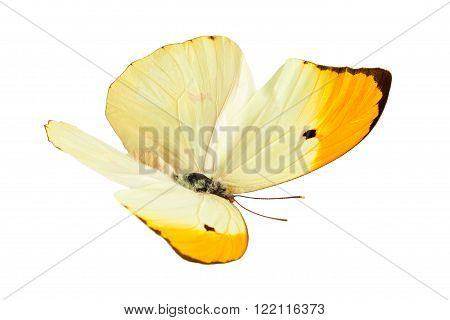 Flying Butterfly (Anteos Menippe). Isolated on white background.