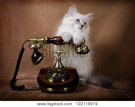 Siberian Neva kitten with a retro telephone