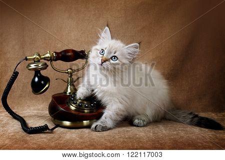 Siberian Neva kitten with a retro telephone