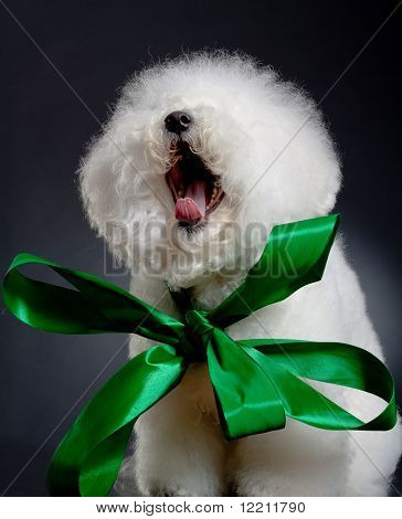 yawning bichon frise wearing a big green ribbon poster