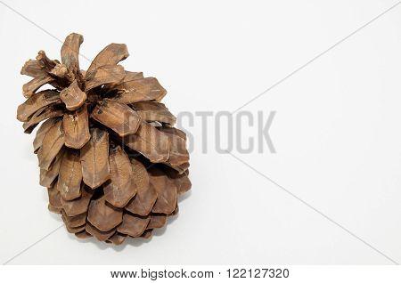 Pinus Ponderosa Pine Tree Pinecone on a white Background