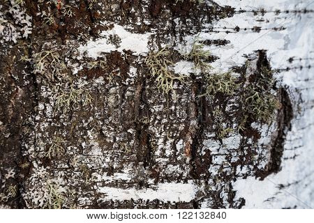 Birch bark and moss background. Birch bark background. Birch bark texture. Tree bark background. Bark background. Bark texture. Tree bark texture