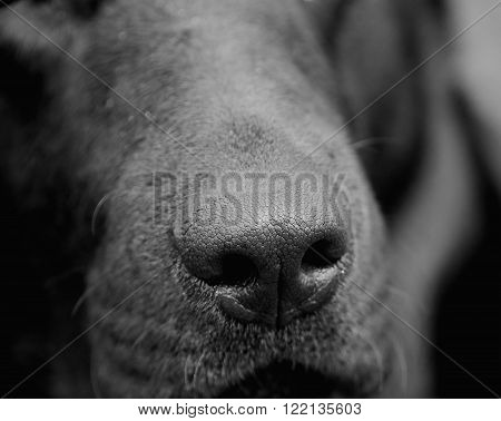 Dog nose (in black and white selective focus on the nose)