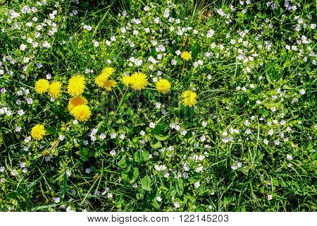 field with yellow dandelions closeup on a green grass