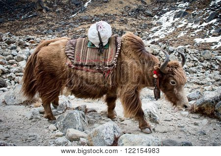 Yak in the mountains in Sagarmatha National Park Himalayas Nepal