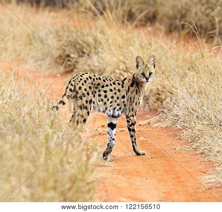 Serval Tsavo Park