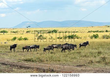 Wildebeest In The Savannah